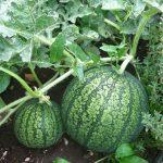 Watermelon Farming In Kenya 2015