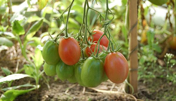 Anna F1 Tomato