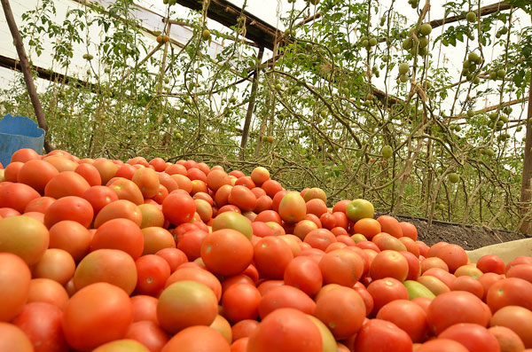 Greenhouse Tomato Farming in Kenya