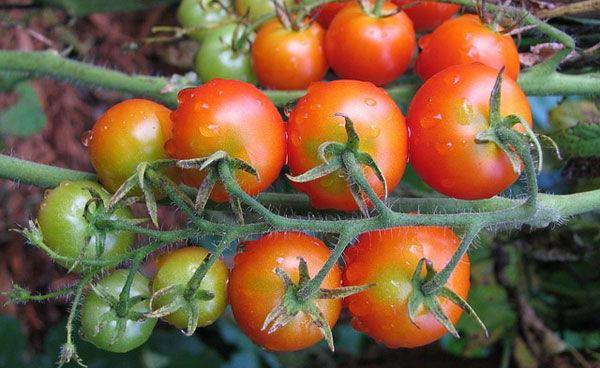 Tomato Varieties in Kenya
