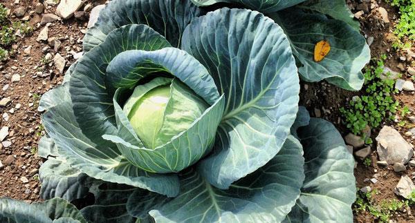 Cabbage Farming in Kenya