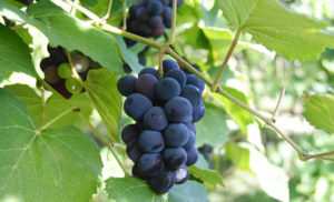Grapes increase sperm count