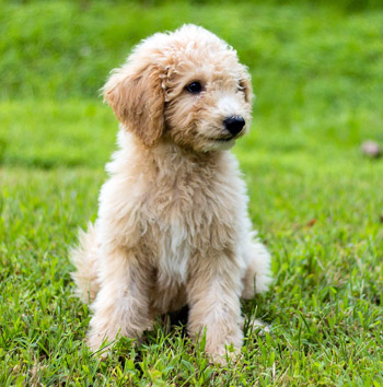 Goldendoodle are a Poodle cross dog